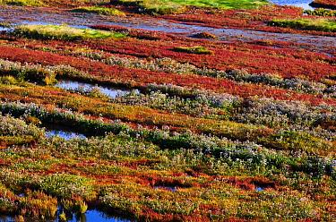 Glasswort (Salicornia sp) and Sea Aster (Aster tripolium) flowering in a salt marsh, Serooskerke, Netherlands  -  Nico van Kappel/ Buiten-beeld
