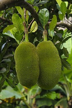 Jackfruit Plant (Artocarpus heterophyllus) fruits on tree, Ubud, Indonesia  -  Natalia Paklina/ Buiten-beeld