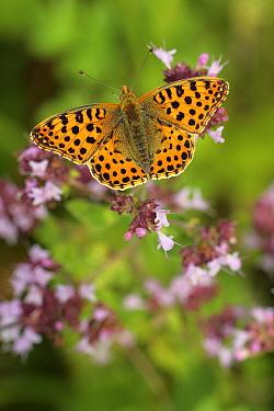 Queen Of Spain Fritillary (Issoria lathonia) butterfly, Belgium  -  Jordi Strijdhorst/ Buiten-beeld