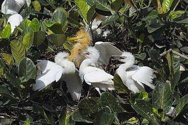 Cattle Egret (Bubulcus ibis) in breeding plumage with three begging juveniles, Ubud, Indonesia  -  Natalia Paklina/ Buiten-beeld