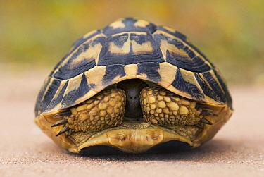 Hermann's Tortoise (Testudo hermanni) retracted into its shell, Menorca, Spain  -  Misja Smits/ Buiten-beeld
