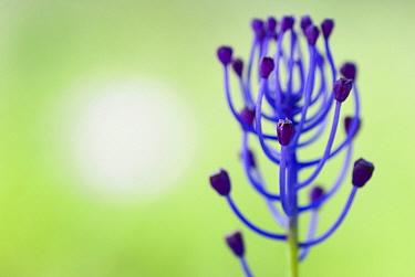 Feather Hyacinth (Muscari comosum), Menorca, Spain  -  Misja Smits/ Buiten-beeld