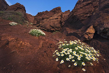 Seaside Chamomile (Anthemis maritima) on rocky coast, Menorca, Spain  -  Misja Smits/ Buiten-beeld