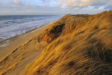 European Beachgrass (Ammophila arenaria) on shoreline, Wijk aan Zee, Netherlands  -  Ronald van Wijk/ Buiten-beeld