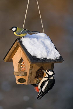 Great Tit (Parus major) and female Great Spotted Woodpecker (Dendrocopos maculatus) at a peanut feeder, Boxmeer, Netherlands  -  Patrick Palmen/ Buiten-beeld