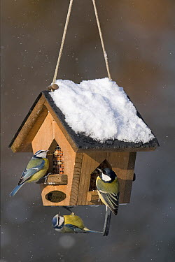 Great Tit (Parus major) and Blue Tit (Cyanistes caeruleus) at a peanut feeder, Boxmeer, Netherlands  -  Patrick Palmen/ Buiten-beeld