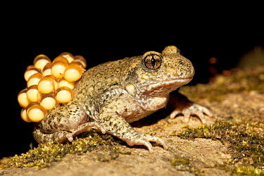 Midwife Toad (Alytes obstetricans) male carries eggs wrapped around his hind legs until they hatch, Zuid-Limburg, Netherlands  -  Jelger Herder/ Buiten-beeld