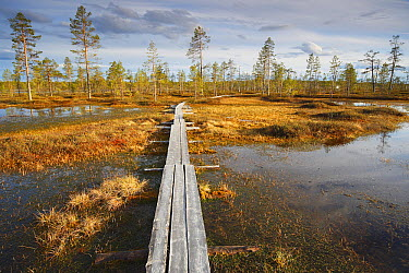 Scotch Pine (Pinus sylvestris) around boardwalk through taiga wetlands, Finland  -  Wouter Pattyn/ Buiten-beeld