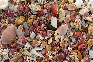 Shell deposit among beach sand, Oman  -  Gerrit van Ommering/ Buiten-beel