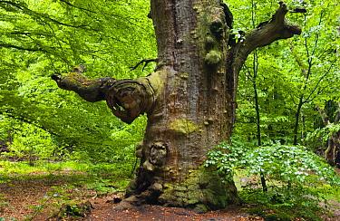 Tree in old-growth forest in Sababurg Primeval Forest, Germany  -  Nico van Kappel/ Buiten-beeld
