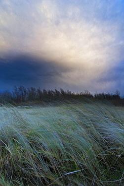 European Beachgrass (Ammophila arenaria) blowing in wind, N etherlands  -  Nico van Kappel/ Buiten-beeld