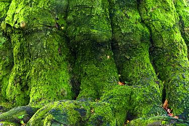 European Beech (Fagus sylvatica) trunk covered in moss, Rheden, Netherlands  -  Nico van Kappel/ Buiten-beeld