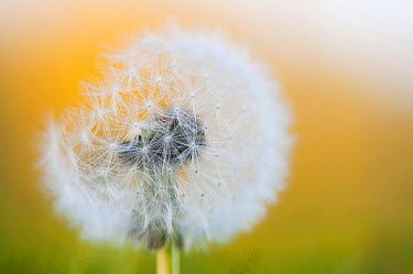 Dandelion (Taraxacum officinale) seedhead flowering, Zuidland, Netherlands  -  Nico van Kappel/ Buiten-beeld