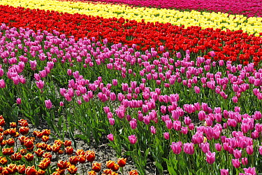 Tulip (Tulipa sp) flower field, Dronten, Netherlands  -  Dirk-Jan van Unen/ Buiten-beeld