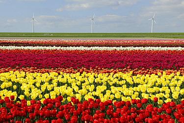 Tulip (Tulipa sp) field, Dronten, Netherlands  -  Dirk-Jan van Unen/ Buiten-beeld