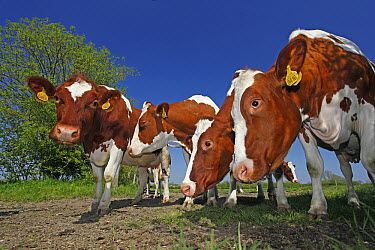 Domestic Cattle (Bos taurus) group, Oeffelt, Netherlands  -  Jelger Herder/ Buiten-beeld