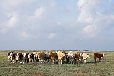 Saltmarsh pasture wtih Domestic Cattle (Bos taurus), Ameland, Netherlands  -  Mark van Veen/ Buiten-beeld