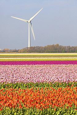 Tulip (Tulipa sp) field near windmill, Petten, Netherlands  -  Jelger Herder/ Buiten-beeld