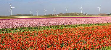 Tulip (Tulipa sp) field with windmills behind, Petten, Netherlands  -  Jelger Herder/ Buiten-beeld