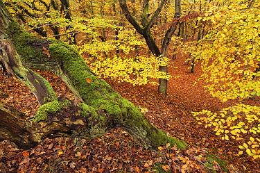 Forest in autumn colors, Bergen, Netherlands  -  Ronald van Wijk/ Buiten-beeld