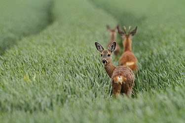 Western Roe Deer (Capreolus capreolus) trio in a wheat field, Netherlands  -  Mark Schuurman/ Buiten-beeld