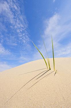 European Beachgrass (Ammophila arenaria), Kwade Hoek, Netherlands  -  Nico van Kappel/ Buiten-beeld