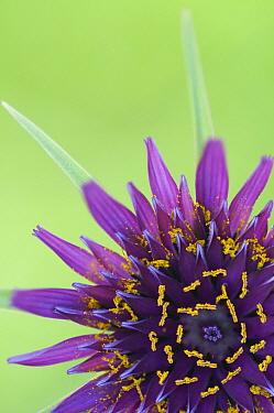 Salsify (Tragopogon porrifolius) flower, Zuidland, Netherlands  -  Nico van Kappel/ Buiten-beeld