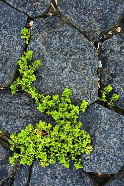Sea Sandwort (Honckenya peploides) growing from between cracks in rock, Netherlands  -  Nico van Kappel/ Buiten-beeld