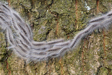 Hairy caterpillars crawling over tree bark, Utrecht, Netherlands  -  Luc Hoogenstein/ Buiten-beeld