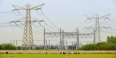 Electrical wires and utility poles over cattle pasture, Zuidland, Netherlands  -  Nico van Kappel/ Buiten-beeld