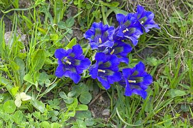 Trumpet Gentian (Gentiana acaulis) flowers, Alps, Switzerland  -  Klaas van Haeringen/ Buiten-beel