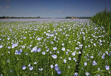 Common Flax (Linum usitatissimum) field blooming, Blankenberge, Belgium  -  Wouter Pattyn/ Buiten-beeld