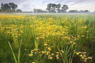 Marsh Ragwort (Senecio aquaticus) blooming in marshy field, Belgium  -  Wouter Pattyn/ Buiten-beeld