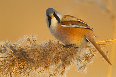 Bearded Tit (Panurus biarmicus) in reed seed head, Lelystad, Netherlands  -  Ruben Smit/ Buiten-beeld