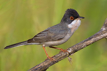 Menetries's Warbler (Sylvia mystacea) male in breeding plumage, Sanliurfa, Turkey  -  Daniele Occhiato/ Buiten-beeld