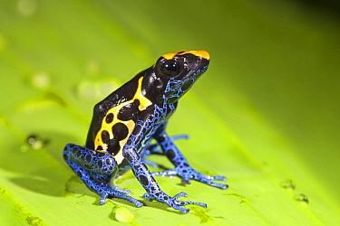 Dyeing Poison Frog (Dendrobates tinctorius), Kabalebo Resort, Surinam  -  Jelger Herder/ Buiten-beeld