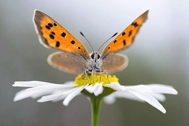 Small Copper (Lycaena phlaeas) butterfly on Daisy, Netherlands  -  Misja Smits/ Buiten-beeld