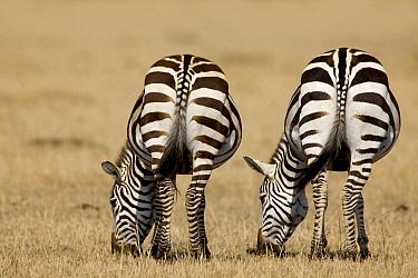 Zebra (Equus quagga) pair grazing, Kenya  -  Jan van der Greef/ Buiten-beeld