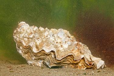 Giant Pacific Oyster (Crassostrea gigas), Brouwersdam, Netherlands  -  Jelger Herder/ Buiten-beeld