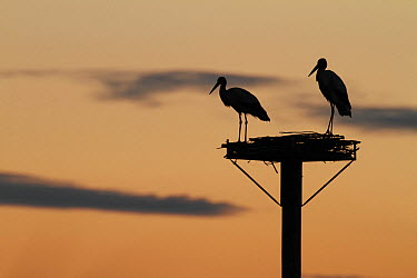 White Stork (Ciconia ciconia) pair at artificial nest platform, Camargue, France  -  Mark Schuurman/ Buiten-beeld