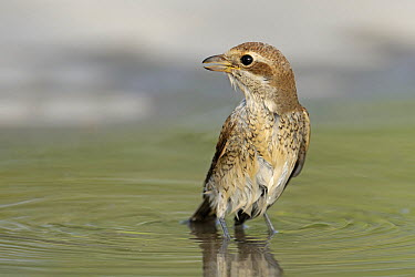 Red-backed Shrike (Lanius collurio) female bathing in a small pool, Fetisovo, Kazakhstan  -  Patrick Palmen/ Buiten-beeld