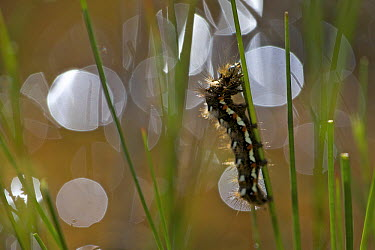 Knot Grass (Acronicta rumicis) with foraging caterpillar, Isle of Mull, Scotland  -  Luc Hoogenstein/ Buiten-beeld