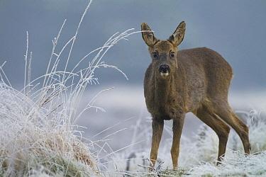 Western Roe Deer (Capreolus capreolus) in frosty heathland, Vaassen, Netherlands  -  Ruben Smit/ Buiten-beeld