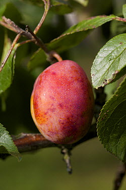 Plum (Prunus domestica) fruit hanging in a tree, Utrecht, Netherlands  -  Luc Hoogenstein/ Buiten-beeld