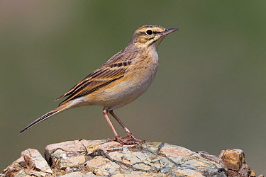Tawny Pipit (Anthus campestris), Firenzuola, Italy  -  Daniele Occhiato/ Buiten-beeld