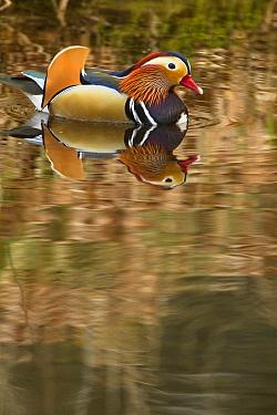 Mandarin Duck (Aix galericulata) in woodland pond, Arnhem, Netherlands  -  Ruben Smit/ Buiten-beeld