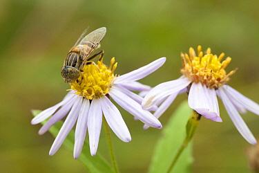 Hoverfly (Eristalinus quinquestriatus) on flowers, Shirakawago, Japan  -  Mark van Veen/ Buiten-beeld