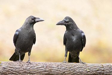Large-billed Crow (Corvus macrorhynchos) pair, Japan  -  Mark van Veen/ Buiten-beeld