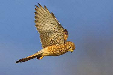 Eurasian Kestrel (Falco tinnunculus) hovering, Pisa, Italy  -  Daniele Occhiato/ Buiten-beeld