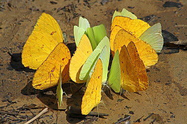 Apricot Sulphur (Phoebis argante) and Statira Sulphur (Aphrissa statira) feeding on bird droppings, Kabalebo Resort, Surinam  -  Gerrit van Ommering/ Buiten-beel